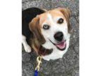 Adopt Shiloh a Beagle