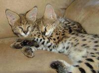 Super Stunning F2 savanna kittens for sale