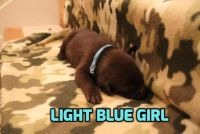 Labrador Retriever PUPPY FOR SALE ADN-62841 - Chocolate Labrador Retriever Puppies