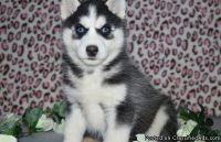YGYHFCXFG Siberian Husky Puppies