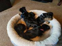 beautiful high class puppies.