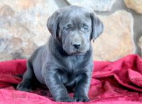 Labrador Retriever PUPPY FOR SALE ADN-52332 - Charcoal Lab Puppy For Sale