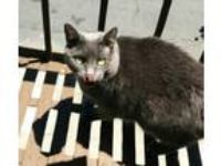 Adopt Maggie a Gray or Blue Domestic Shorthair / Mixed (short coat) cat in San