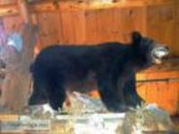 Beautiful full body mount back bear taxidermy