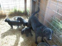 Labrador Retriever PUPPY FOR SALE ADN-51646 - AKC Labrador Retriever Puppies