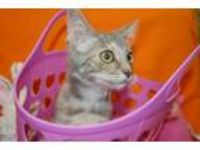 Adopt Quinoa a Domestic Short Hair
