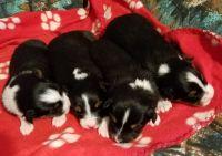 Australian Shepherd PUPPY FOR SALE ADN-63547 - Black Baby Girl
