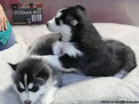 Pedigree Siberian Husky Puppies Ready For A Forever Home