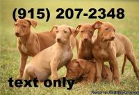 Pharaoh Hound male for sale to lovers. text us