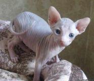 Male and Female Sphynx Kittens for loving home