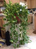 """Ivy Plant 41"""" tall X 23"""" wide"""