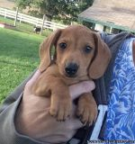 gfnxgf miniture dachshund puppies