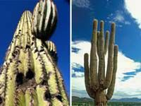 SAGUARO CACTUS CUT DOWNS - Chandler Az * 85224 * 85225 * 85226 * 85244 * 85246