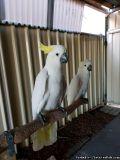Dsaqcx affectionate,umbrella Cockatoo Parrots