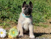 Akita PUPPY FOR SALE ADN-51887 - Akita Puppy For Sale