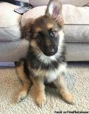 vjnvf=jjf= German Shepherd puppies for sale