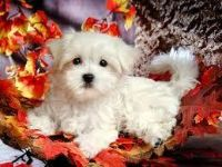 Ready sweet Nice and Healthy Maltese Puppies Available for sale.