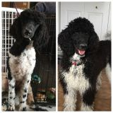 Poodle (Standard) PUPPY FOR SALE ADN-63603 - Standard Poodle puppies