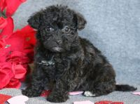 Lhasa-Poo PUPPY FOR SALE ADN-64377 - Lhasapoo Puppy for Sale