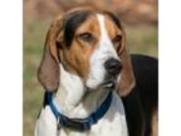 Adopt Sammi a White - with Tan, Yellow or Fawn Coonhound / Mixed dog in