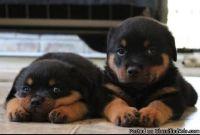 nasdsckl Rottweiler puppies for sale