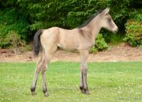 BEAUTIFUL & ELEGANT 2017 BUCKSKIN JOCKEY CLUB TB Filly