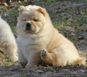 GCVDDFGD Chow Chow Puppies