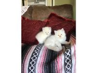RAGDOLL KITTENS 1ST SHOTS AND WORMED, BORN ...
