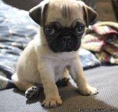 sgdfhfjn Adorable Pug puppies for sale