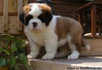 ASTONISHING M/F SAINT BERNARD PUPPIES Available For Sale