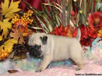 We have pure Pug puppies available