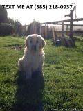 Xnjg Golden retriever puppies for sale
