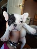Handsome French bulldog puppies for sale