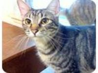 Adopt Brownie a Gray, Blue or Silver Tabby Domestic Shorthair (short coat) cat