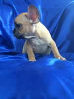French Bulldog PUPPY FOR SALE ADN-63710 - Amazing beautiful French bulldog puppies