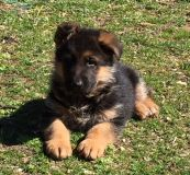 German Shepherd Dog PUPPY FOR SALE ADN-61819 - 2XVA1 WORLD CHAMPION BALLACK and VA1 ZAMP