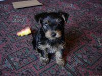 loving yorkshire terrier puppies