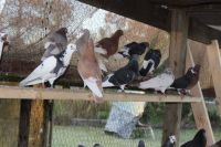 Rolling Pigeons