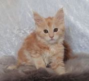 we have had a stunning litter of Maine Coon kittens
