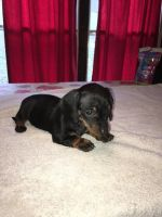 Dachshund PUPPY FOR SALE ADN-54716 - Mini Dachshund