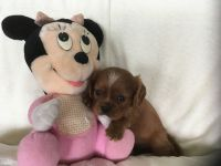 Cavalier King Charles Spaniel PUPPY FOR SALE ADN-63859 - Adorable Cavalier King Charles spaniel puppy