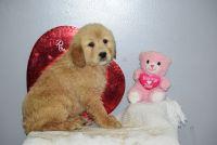 Golden Retriever PUPPY FOR SALE ADN-63629 - AKC Golden Retriever Female Mariah