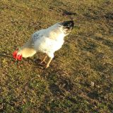 Getting Big!! Healthy 8 Month Old Rooster Chicken