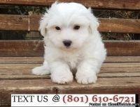 Respectful Bichon Frise Puppies Available Now