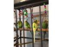 Adopt Dancer, Dash, Dodger and Duke a Budgie bird in St. Louis, MO (18624960)