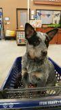 Australian Cattle Dog PUPPY FOR SALE ADN-48126 - Registered Australian Cattle Dog Puppies