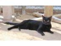 Adopt Gumdrop a All Black Domestic Shorthair / Domestic Shorthair / Mixed cat in
