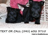 XOWE(#!*^) Super Scottish Terrier Puppies