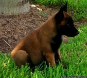 WWFDTWv Belgian Malinois puppies