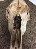 Old cow skull
